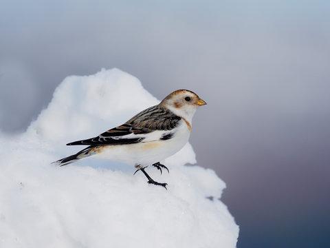 Snow bunting, Plectrophenax nivalis