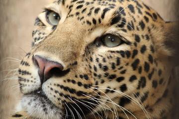 Printed kitchen splashbacks Panther Leopard portrait