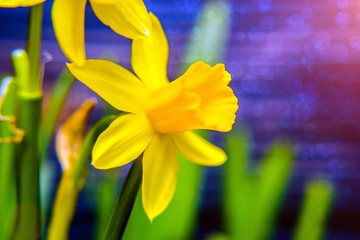 Papiers peints Narcisse A branch of yellow narcissus on a blue wooden background