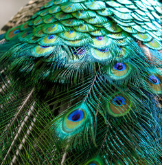 Keuken foto achterwand Pauw Beautiful feathers on the tail of a peacock