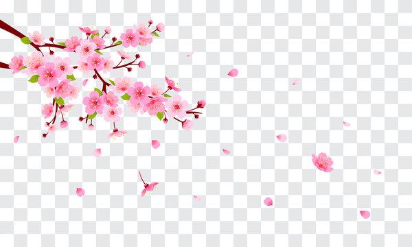 Spring Sakura branch with falling petals Vector illustration. Pink Cherry blossom on fake transparent background.