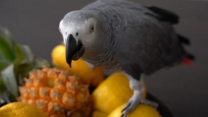 Grey parrot sits on fruit lemon pineapple Fotomurales