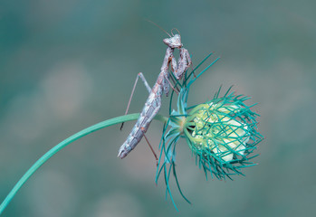 Keuken foto achterwand Vlinder Close up of pair of Beautiful European mantis ( Mantis religiosa )
