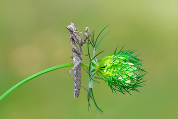 Foto op Plexiglas Vlinder Close up of pair of Beautiful European mantis ( Mantis religiosa )