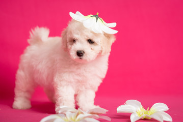 Wall Mural - White Bichon puppy on a pink background with flowers.