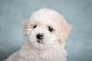 Wall Mural - White Bichon puppy on a blue background with flowers.