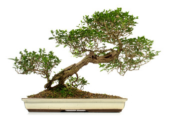 Tuinposter Bonsai Old bonsai with small leaves on white Background