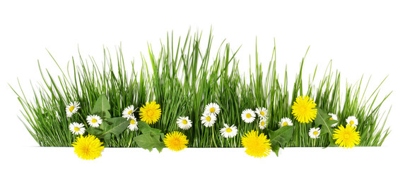 Tuinposter Madeliefjes Spring grass with daisy and dandelion flowers isolated on white - Panorama