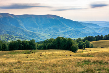 carpathian mountain landscape in summer. weathered grass on the meadow. beech forest on the edge of a hill. rural valley  in the distance. sunny august afternoon with clouds on the sky