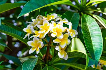 Keuken foto achterwand Frangipani Beautuful white and yellow plumeria flowers on a plumeria tree.