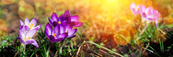 Photo sur Plexiglas Crocus Banner 3:1. Close-up blooming purple crocus flowers on meadow under sun beams in spring time. Beautiful spring background. Selective focus