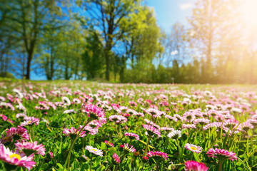 Foto op Textielframe Geel Meadow with lots of white and pink spring daisy flowers in sunny day