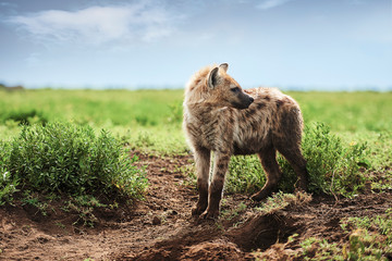 Foto auf Leinwand Hyane Young spotted hyena on Savannah