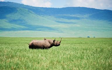 Spoed Fotobehang Neushoorn White rhinoceros in the grass