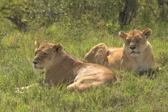 Two Lionesses Sitting on Grassland