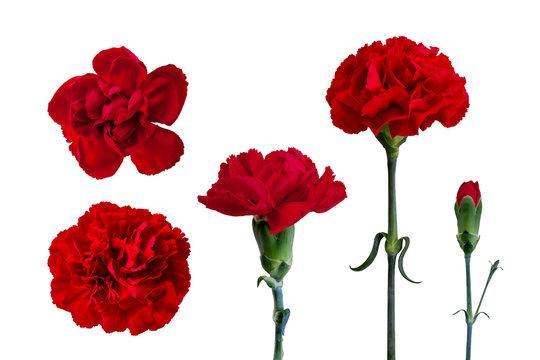 花素材 赤いカーネーション