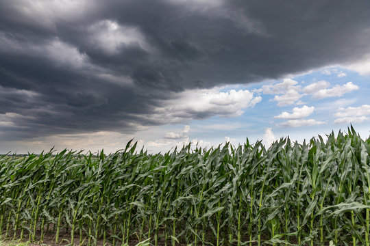 Fast moving thunderstom wall cloud over cornfield in summer. Wind blowing cornstalks and leaves