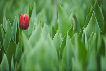 Close-up of one red tulip growing in the garden among green plants