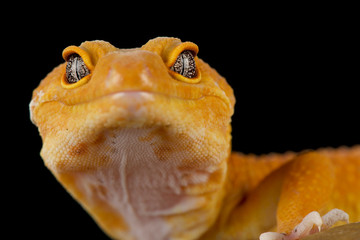 Wall Mural - Leopard gecko (Eublepharis macularius) Mandarin