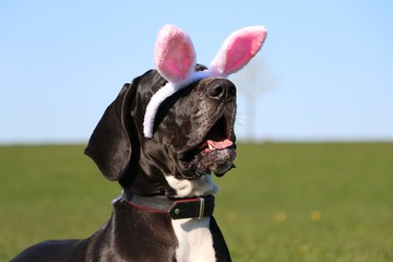 funny head portrait of a great dane with easter bunny ears slipping from head in garden