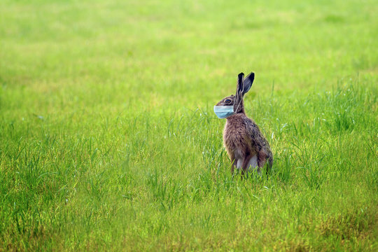 Easter bunny with a coronavirus face mask is sitting alone on a green meadow to avoid an infection during the holidays, health concept, copy space
