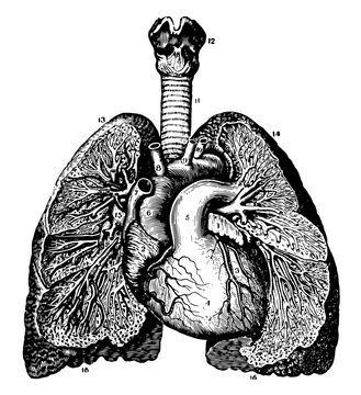 Relative Position of the Heart and Lungs, vintage illustration.