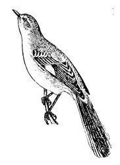 Mockingbird, vintage illustration.