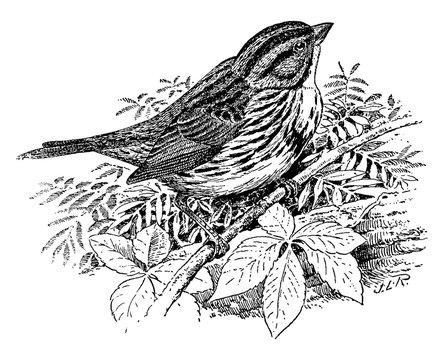 Song Sparrow/Melospiza fasciata, vintage illustration