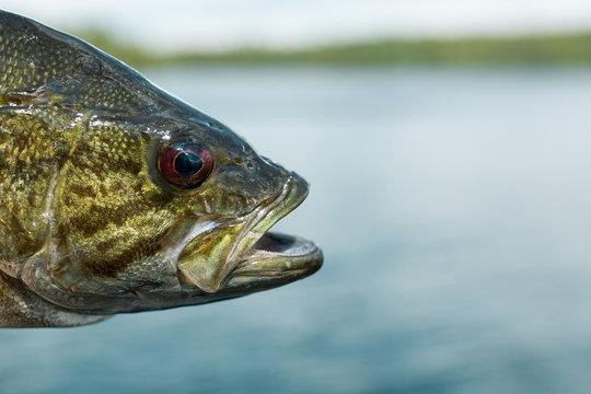 Maine Smallmouth Lake Bass Head Detail