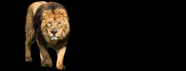 Template of Lion with a black background