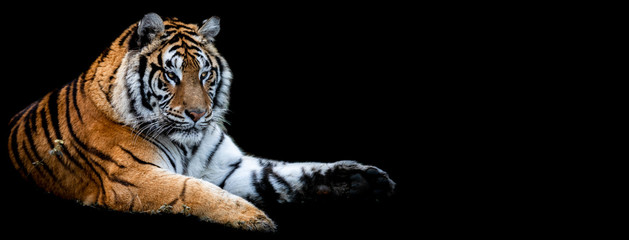Photo sur Toile Tigre Template of Tiger with a black background