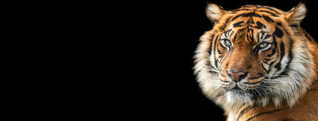 Template of Tiger with a black background