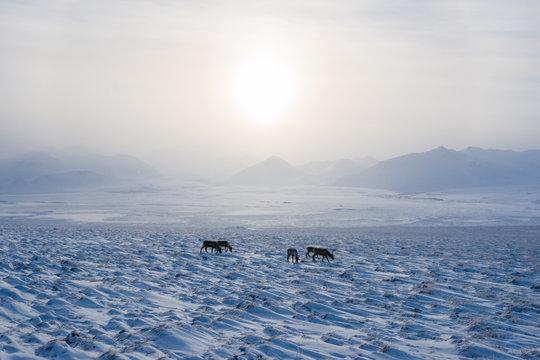 Drone Flying Toward Wild Caribou Herd Eating inside Alaska's Arctic National Wildlife Refuge