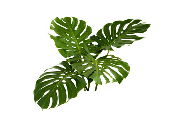 Green leaves of tropical plants bush (Monstera,) floral arrangement indoors garden nature backdrop isolated on white background thailand, clipping path inclu