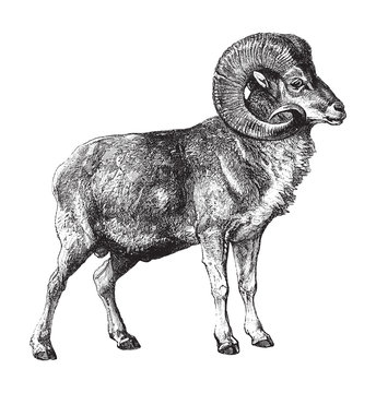 Marco Polo sheep (Ovis ammon polii) / vintage illustration from Brockhaus Konversations-Lexikon 1908