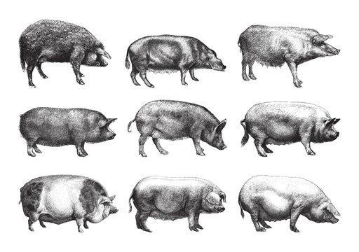 pig collection / vintage illustration from Brockhaus Konversations-Lexikon 1908