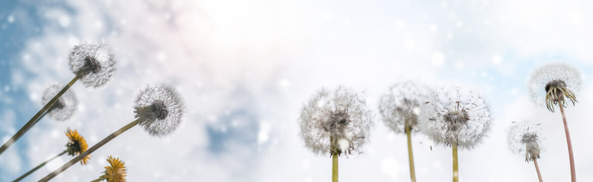 Summer background dandelions on a background of blue sky with clouds web banner:summer time concept