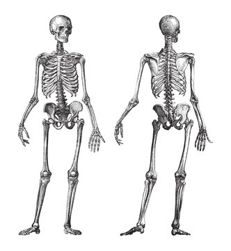 Human skeleton front and back view / vintage illustration from Brockhaus Konversations-Lexikon 1908
