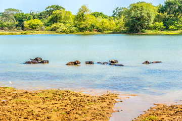 Wall Mural - View at the Water buffalo in Yala National Park, Sri Lanka