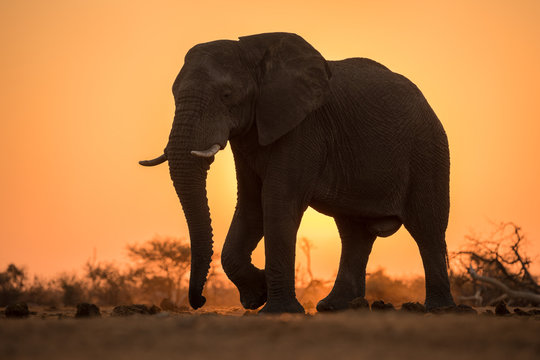 A dramatic backlit portrait of an elephant walking with a golden sunset in the background, taken in the Madikwe Game Reserve, South Africa.