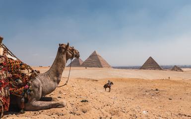 Poster Kameel Camello con vistas de las pirámides de Egipto