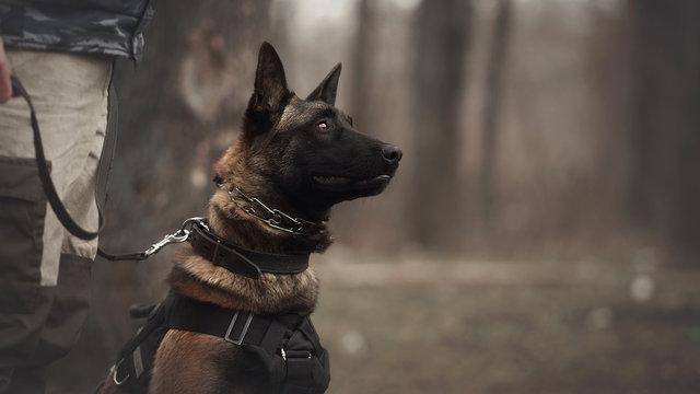 Protect dog belgian malinois on training