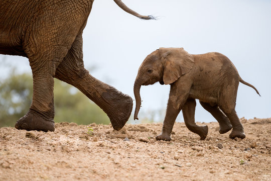 A beautiful cute photograph of a baby elephant walking behind its mother on a sand embankment, taken at the Madikwe Game Reserve in South Africa.