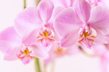 Beautiful floral background. Pink orchids Phalaenopsis close-up. Horizontal format.