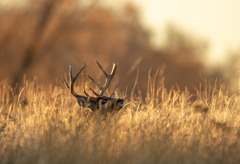 Foto op Plexiglas Hert Buck Whitetail Deer in Colorado during the Rut in Autumn