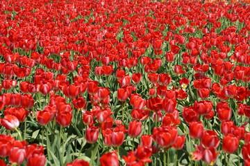 Fond de hotte en verre imprimé Rouge Festival Tulipan Woordburn Oregon