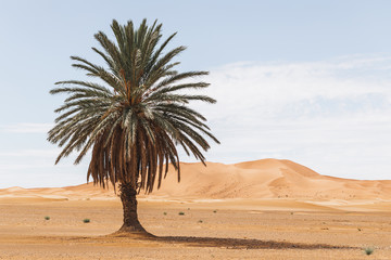 Beautiful desert landscape with sand dunes and one lonely palm. Travel in Morocco, Sahara, Merzouga. Nature background.