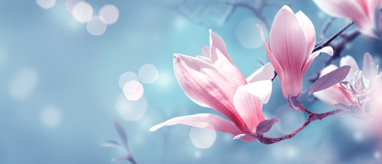 Mysterious spring background with blooming pink magnolia flowers and glowing bokeh. Magnificent floral banner.