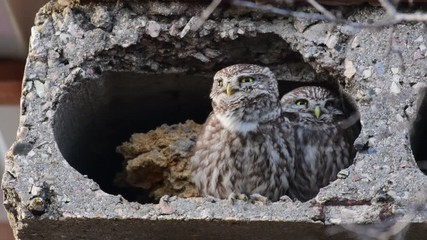 Fototapete - Two small owls (Athene Noctua) look out of their burrow and sing a song
