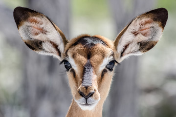 cute baby antilope face portrait